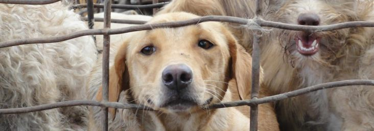 Help shut down the illegal dog meat trade in Thailand